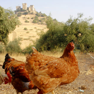 Gallinas y castillo